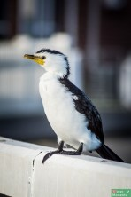 Kormoran białolicy...białe, czarne...prawie jak pingwin ;)