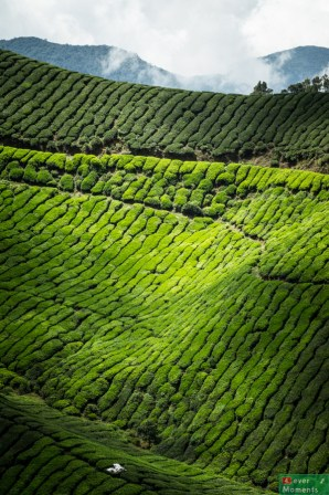 Cameron Highlands-31