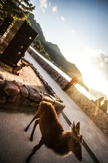 deer-sunshine-Itsukushima-Shrine