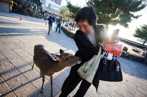 deer-thief-Itsukushima-Shrine