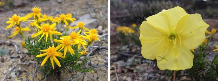 Left: Damianita Crysactinia mexicana Right: Desert evening primrose Oenothera primiveris