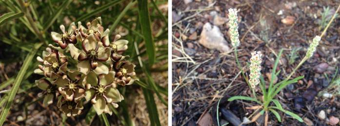 Left: Antelope horn milkweed Asclepias asperula Right: Indian wheat