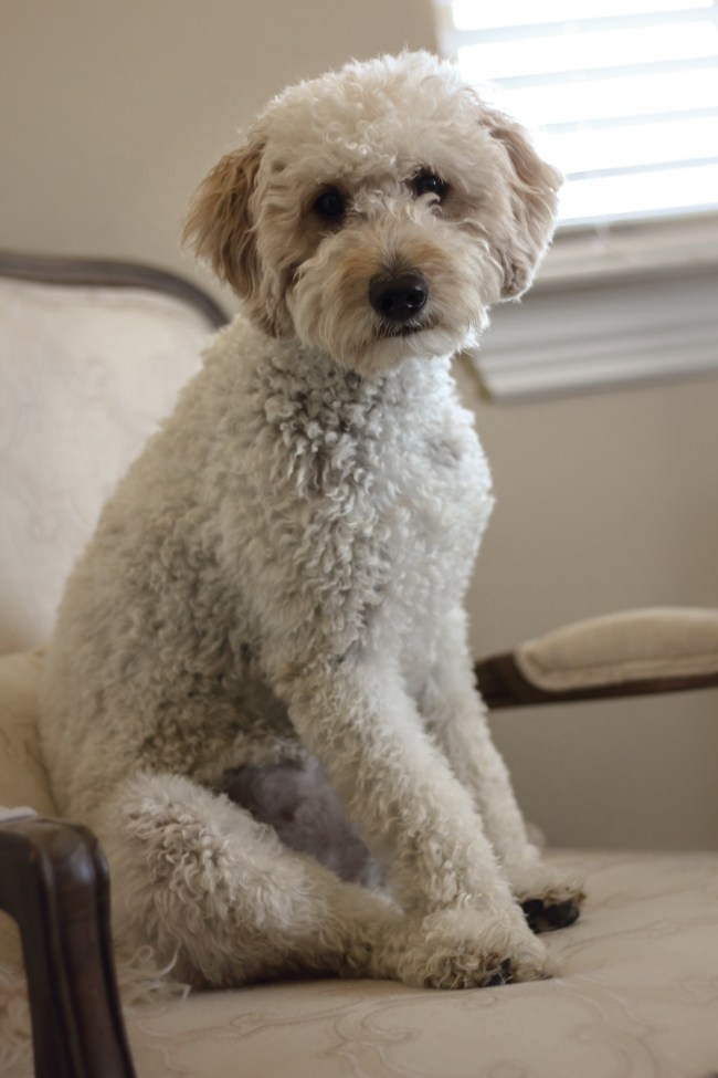 Abby is a F1b Mini Goldendoodle at Regal Doodles