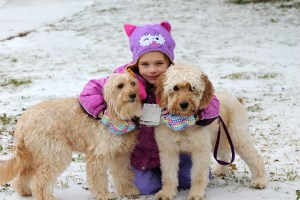 F1 Goldendoodles in the Snow
