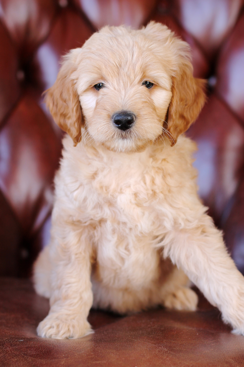 Tobi, F1b Medium Goldendoodle at 8 weeks
