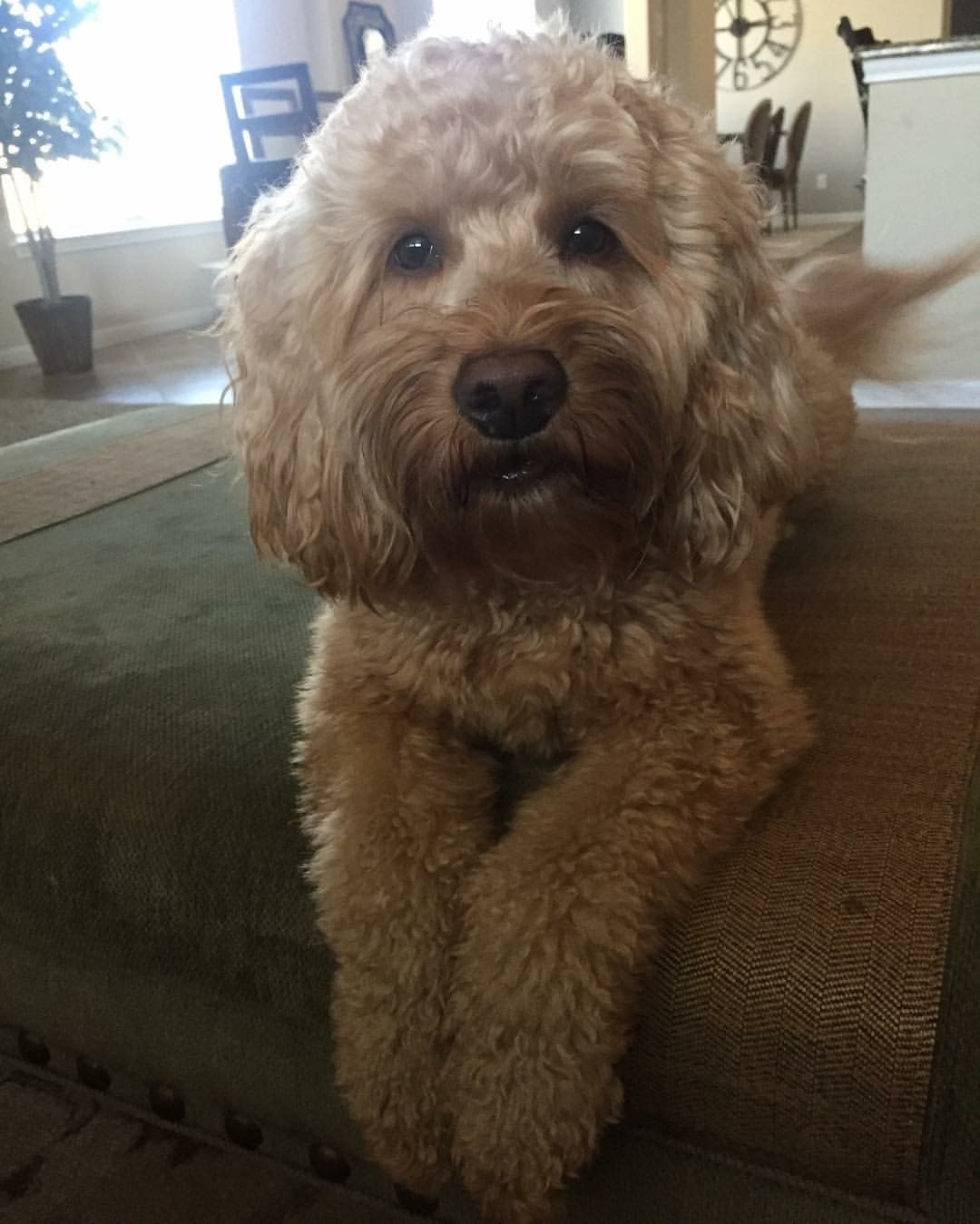 Penny, Mini F1b Goldendoodle