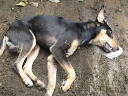 perro envenenados