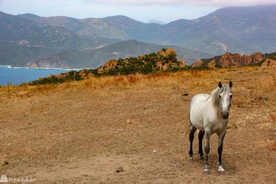 Hvit hest på Korsika
