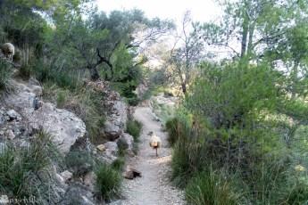 Sau på vei ned mot Deia, Terra de Tramuntana, Mallorca