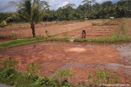 Reisefelder bei der Ernte