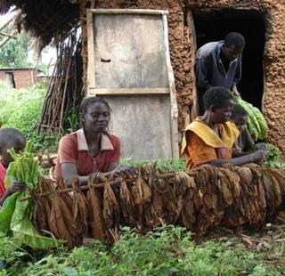 Children involved in tobacco harvesting. Child labourers receive low pay, have higher high school dropout rates, poor school performance and are most  at risk for work-related injuries, wounds, sickness, and even death.  [Photo: Kenya Tobacco Control Research Group]