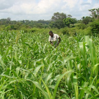 Maize facing imminent threat as disease creeps in. Photo Reject file picture