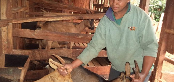 Mumbi Gitonga attends to her dairy goats in Nyeri County.Dairy goat farming is currently facing many challenges that threaten it's profitability.Picture:Waikwa Maina