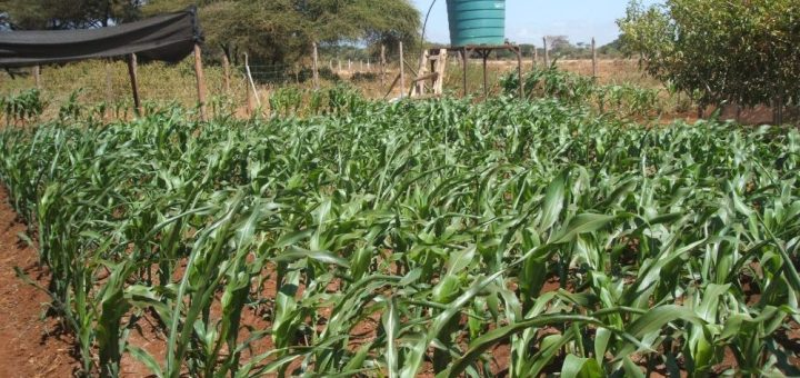 Maize plantation in Yatta  growing under ecology agriculture.Picture :Henry Owino