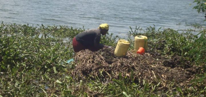 A woman along lake Victoria in Nyaudenge Beach searching for worms and fingerlings for sale to make ends meets as hunger and prices of basic commodities rises.Picture:Henry Owino