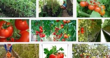 Melakukan tehnik budidaya tomat dengan benar dan tepat untuk hasil yang maksimal