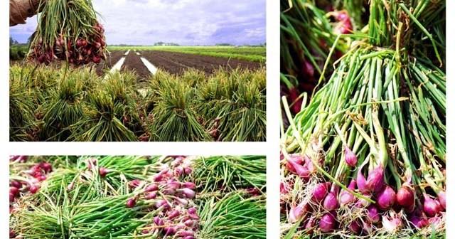 Cara budidaya bawang merah dengan hasil dan untung yang berlipat ganda