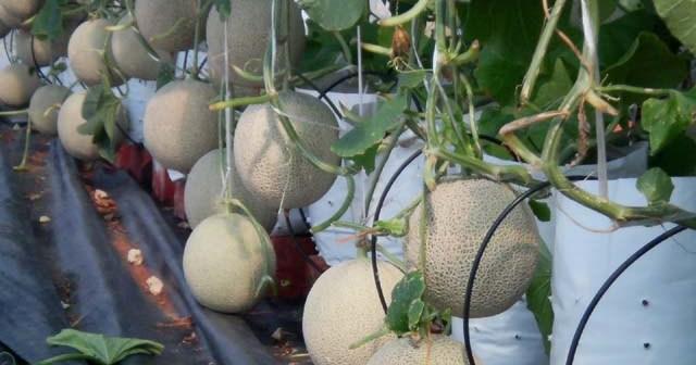 Meningkatkan Hasil Panen Budidaya Melon