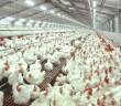Cara Benar Budidaya Ayam Potong