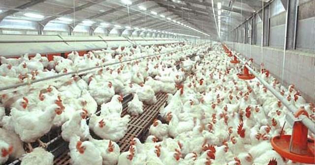 Sukses Budidaya Ayam Potong