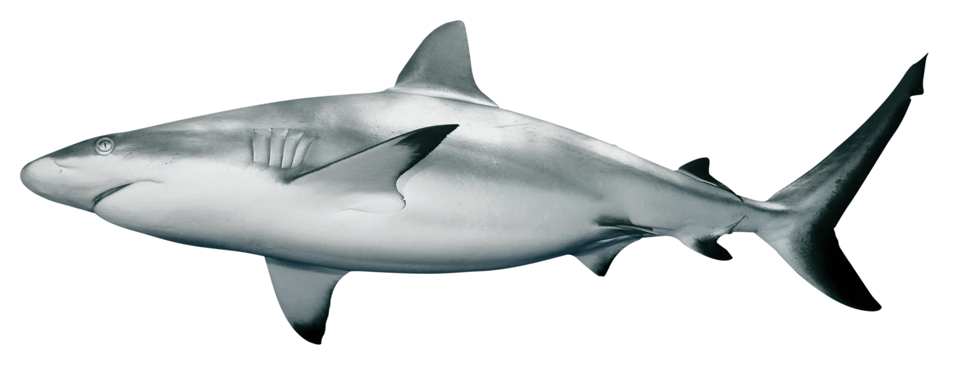 Shark Facts For Kids   Information On Sharks   DK Find Out Grey reef shark dreamstime xl 5569552 qmsbfl
