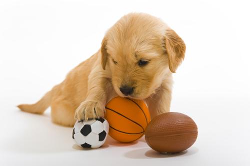 Golden Retriever puppy with sports balls