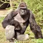 Jill Stein: Bested by a Dead Gorilla