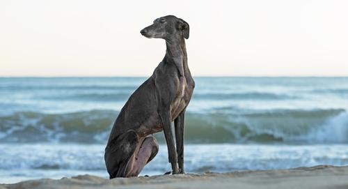 Lazy-Dog-Breeds-19