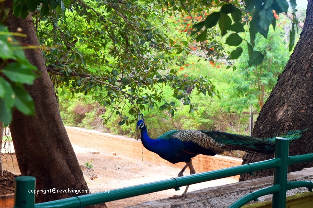 Mysore Zoo Peacock