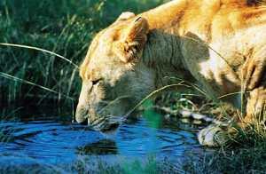LION-DRINKING-lr