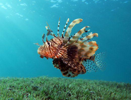 lionfish2161