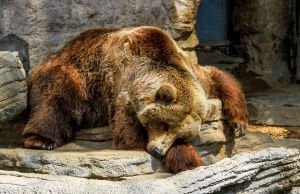 sleeping-grizzlyweb.jpg