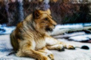 lioness-softweb-300x199.jpg