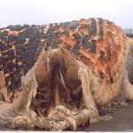 ギニアで発見された謎の巨大生物!