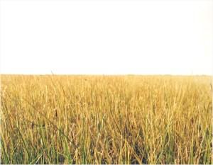 Roadside Flowers (Yellow Grass Field)