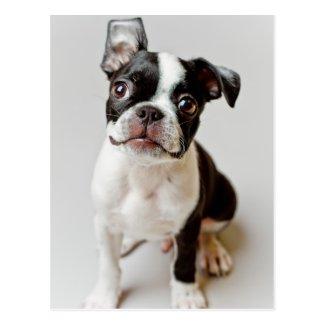 Boston Terrier dog puppy. Postcard