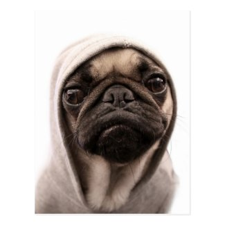 Close up of pug wearing hoodie. post card