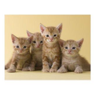 Four American Shorthair Kittens Post Cards