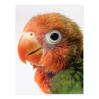 Lovebird chick on white background. post card