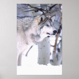 Timber Wolf, Canis lupus, Movie Animal Utah) Poster