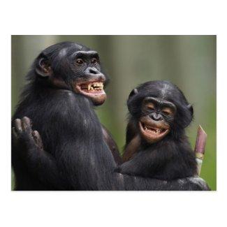 Two smiling Bonobos Post Card