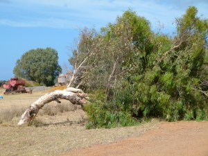 The leaning trees of Geraldton are a sight to see.