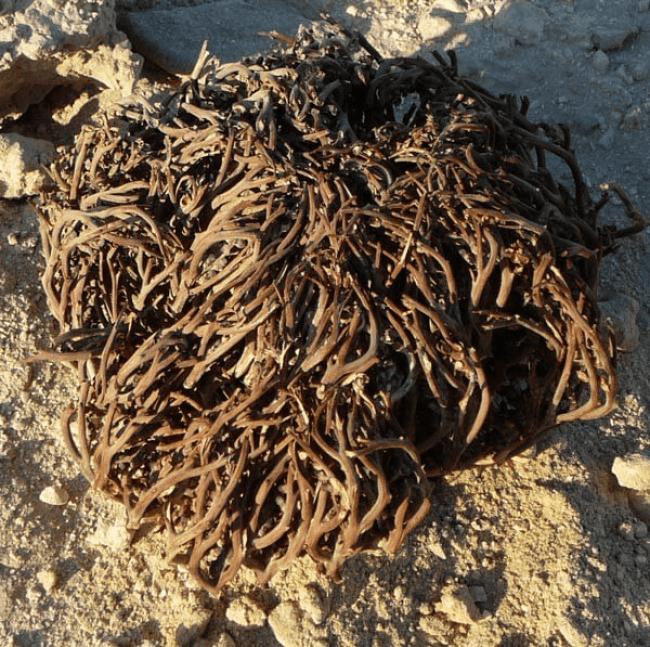 De echte roos van Jericho (foto wikimedia Commons)