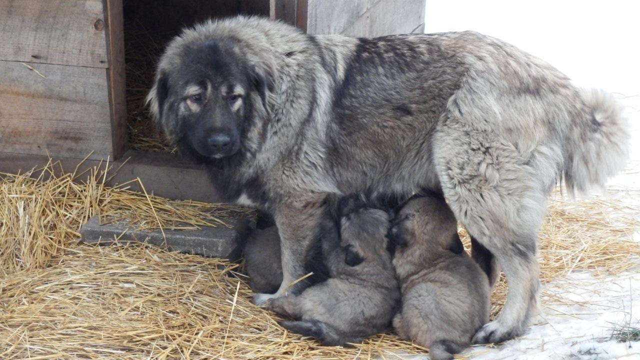 Fullsize Of Russian Mountain Dog