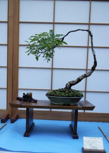 Syringa pubescens subsp. patula 'Miss Kim' Bonsai