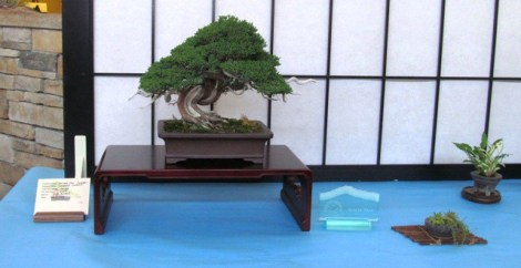 Shimpaku Juniper - Best In Show