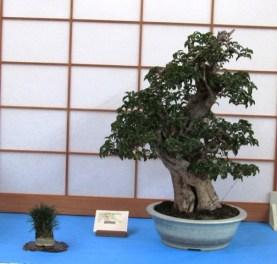 Bugainvillea - Donated to Denver Botanic Gardens by Dan Sullivan