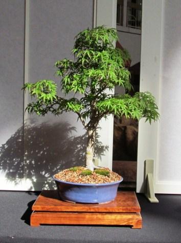 Japanese Maple - Sharps Pygmy