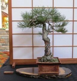 Jim Robinsom Ponderosa Pine
