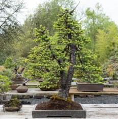 """Engelmen spruce"""